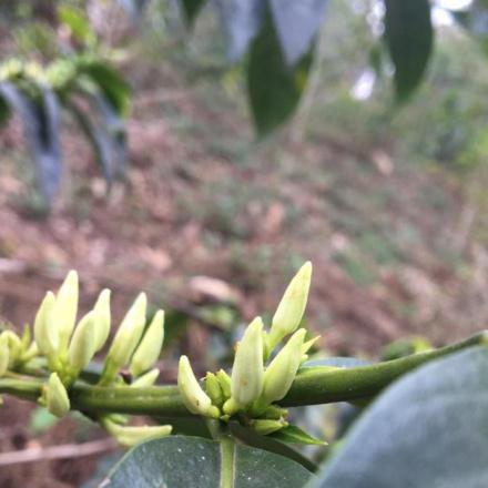 Cafea Etiopia Beserate Melaku - microlot