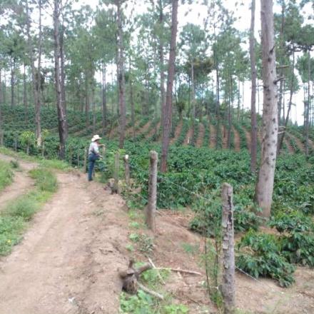 Cafea Guatemala Las Crucitas - microlot
