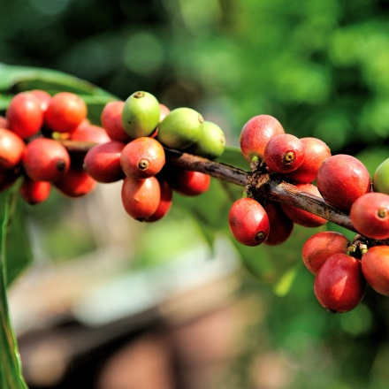 Cafea Kenya AA+ Kijani Kiboko