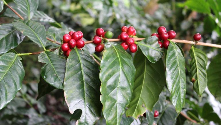 Soiuri de cafea: Bourbon