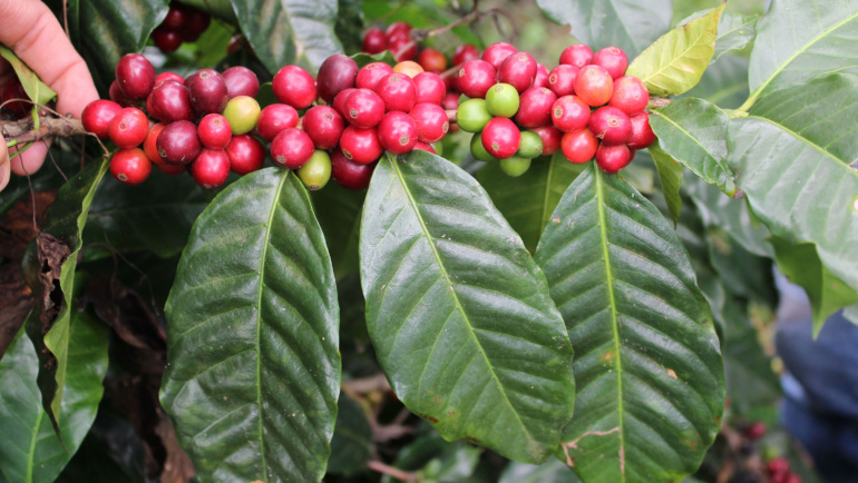 Soiuri de cafea: Catuaí