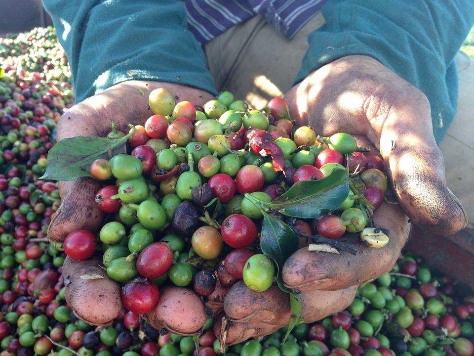O poveste despre seducție sau cum a ajuns cafeaua în Brazilia