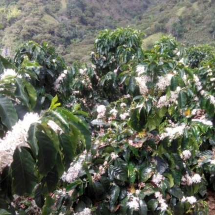 Cafea Finca Palmichal