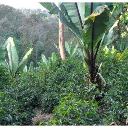 Cafea Etiopia Uraga