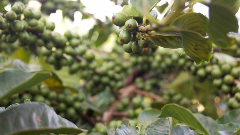 Soiuri de cafea: SL28